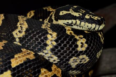 exo1- carpet python