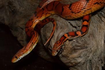 exo12 - corn snake 4